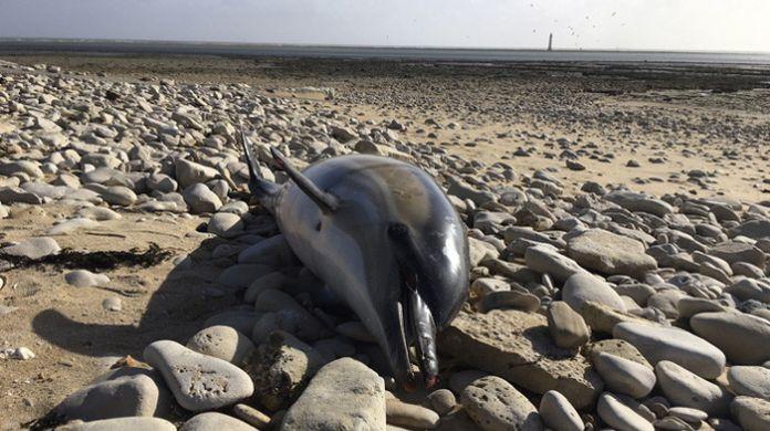 mrtve delfíny na francúzskom pobreží
